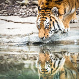 Indian tiger drinking water Royalty Free Stock Photos