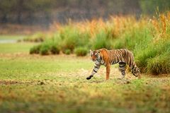 Indian tiger with first rain, wild danger animal in the nature habitat, Ranthambore, India. Big cat, endangered animal, nice fur c. Oat cat Royalty Free Stock Images