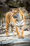 Indian Tiger Stock Images