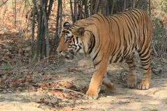 Indian Tiger in the National Park Bandhavgarh Stock Photos
