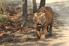 Indian Tiger in the National Park Bandhavgarh Royalty Free Stock Photos