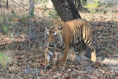 Indian Tiger in the National Park Bandhavgarh Stock Photo