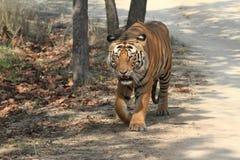 Indian Tiger in the National Park Bandhavgarh Royalty Free Stock Image