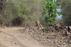 Indian Tiger in the National Park Bandhavgarh Royalty Free Stock Photo