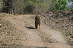 Indian Tiger in the National Park Bandhavgarh Stock Image