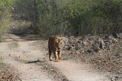 Indian Tiger in the National Park Bandhavgarh Royalty Free Stock Images