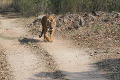 Indian Tiger in the National Park Bandhavgarh Stock Photography