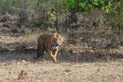 Indian Tiger in the National Park Bandhavgarh Stock Images
