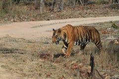 Indian Tiger in the National Park Bandhavgarh Royalty Free Stock Photos
