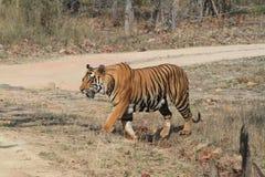 Indian Tiger in the National Park Bandhavgarh Stock Photos