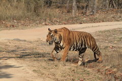 Indian Tiger in the National Park Bandhavgarh Royalty Free Stock Photography