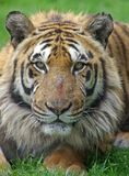 Indian Tiger Portrait. Portrait of a male Indian Tiger Stock Images