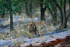 Indian tiger, wild danger animal in nature habitat, Ranthambore, India. Big cat, endangered mammal, nice fur coat. End of dry seas. On Stock Images