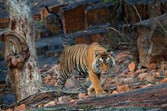 Indian tiger, wild danger animal in nature habitat, Ranthambore, India. Big cat, endangered mammal, nice fur coat. End of dry seas. On Stock Image