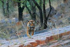 Indian tiger, wild danger animal in nature habitat, Ranthambore, India. Big cat, endangered mammal, nice fur coat. End of dry seas. On Stock Photography
