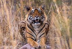 Indian tiger in wild. Portrait of adult Indian tiger in tall grass in the wild Stock Images