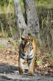 An Indian tiger in the wild. Royal Bengal tiger ( Panthera tigris ) Royalty Free Stock Photos