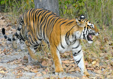 An Indian tiger in the wild. Royal Bengal tiger ( Panthera tigris ) Royalty Free Stock Photo