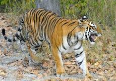An Indian tiger in the wild. Royal Bengal tiger ( Panthera tigris ) Royalty Free Stock Photo