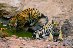 Indian Tigers. Royal bengal tiger is pride of India.This picture in the Bandhavgadh N.P. Located in central India Stock Photography