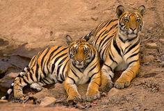 Indian tigers. Shot in Bandhavgadh N.P Royalty Free Stock Photos