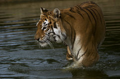 Indian Tigress. Demonstrating how comfortable tigers are in water Stock Photos
