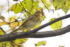 Indian tree pipit. Royalty Free Stock Photo