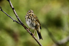 Indian tree pipit – Anthus hodgsoni yunnanensis Royalty Free Stock Image