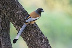 Indian Treepie Stock Image