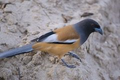 Indian Treepie Stock Photos