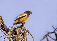 Indian Treepie(Dendrocitta Vagabunda) Royalty Free Stock Photo
