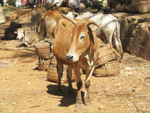 Indian tribal rural cattle weekly market Royalty Free Stock Photo