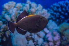Indian triggerfish or Melichthys indicus. In marine aquarium stock images