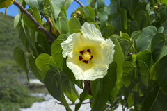 Indian tulip tree blooming Royalty Free Stock Images