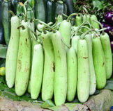 Indian vegetable-bottle gourd Stock Image