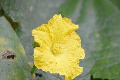 Ridge Gourd Yellow Flower Royalty Free Stock Photos