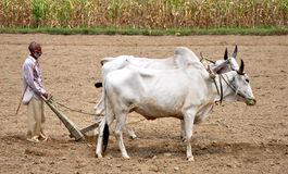 Indian village farmer. Ploughing fields in hoshiarpur punjab india royalty free stock photos