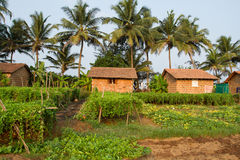 Indian village. Flowering of fruit crops Royalty Free Stock Photo