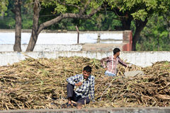 Indian village Men. Eating sugarcane in the fields Stock Photos