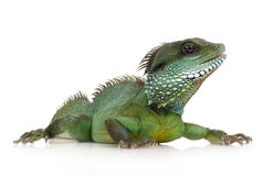 Indian Water Dragon - Physignathus cocincinus Royalty Free Stock Photos