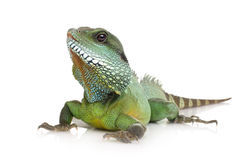 Indian Water Dragon - Physignathus cocincinus Royalty Free Stock Photo