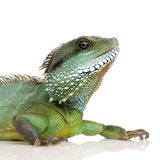 Indian Water Dragon - Physignathus cocincinus Royalty Free Stock Image