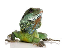 Indian Water Dragon - Physignathus cocincinus Royalty Free Stock Images