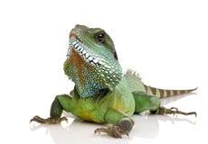 Indian Water Dragon - Physignathus cocincinus royalty free stock photo