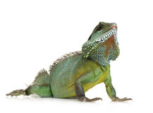 Indian Water Dragon - Physignathus cocincinus Royalty Free Stock Photography