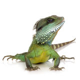 Indian Water Dragon - Physignathus cocincinus Stock Image