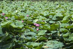 Indian water lilies Stock Photos