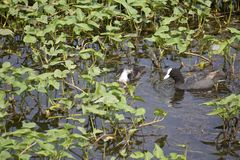 Indian waterbirds Royalty Free Stock Image