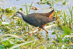 Indian Waterhen Royalty Free Stock Photography