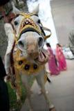 Indian Wedding Ceremony Baraat Stock Photography